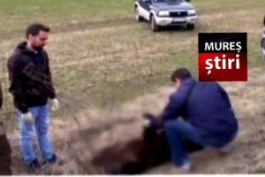 politia doi ursi loviti de masina in mures pe dn15
