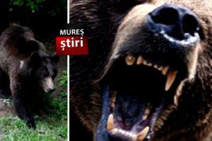 inca-o-alerta-privind-2-ursi!-aici-au-ucis-deja-un-muresean!