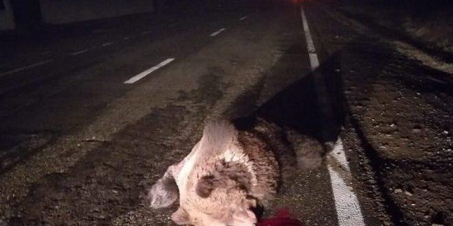 mures inca un urs lovit mortal de o masina