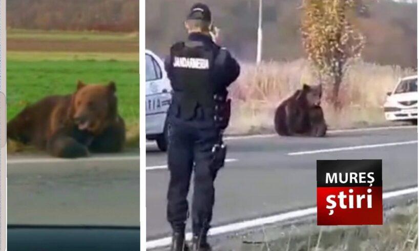 acum!-decizie-in-cazul-ursului-care-agoniza-de-15-ore-pe-sosea,-pe-dn13a!-video
