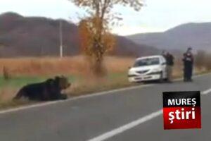 imagini-video-cu-ursul-lovit-de-masina,-lasat-in-agonie-la-peste-10-ore-de-la-accident!