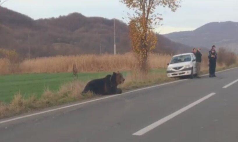 noaptea-mintii!-veterinarul-trimis-sa-tranchilizeze-ursul-nu-avea…tranchilizant!