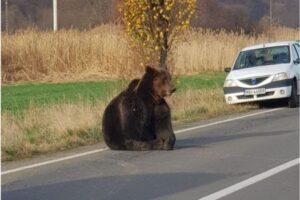 ministrul-mediului-a-intervenit!-ursul-ranit-langa-sovata-a-fost-tranchilizat-si-va-primi-ingrijiri