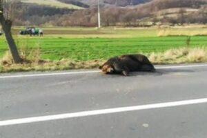 cazul-ursului-lasat-18-ore-in-agonie:-prefect-demis-de-ministrul-de-interne!