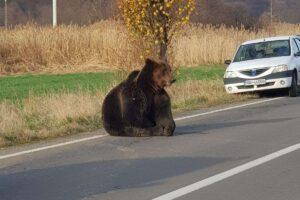 ursul-din-harghita-nu-ar-fi-agonizat-atat-daca-ar-fi-existat-'112-pentru-animalele-salbatice'