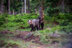 (audio)-excursionistii-sfatuiti-sa-faca-mult-zgomot-pentru-a-evita-contactul-cu-ursii