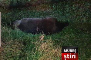 foto.-un-urs-lovit-de-masina-a-murit-in-urma-impactului,-la-ghindari!
