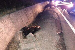ursul-accidentat-langa-balauseri-a-supravietuit!-a-fost-transportat-la-gradina-zoologica-din-targu-mures