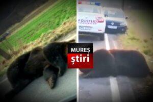acum inca un urs lovit mortal de masina in mures