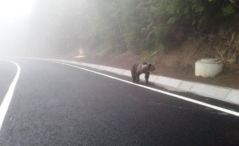 prezenta unui urs semnalata la marginea municipiului miercurea ciuc
