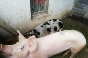 un-nou-caz-de-pesta-porcina-africana-confirmat-in-localitatea-sacel-din-judetul-sibiu