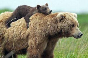 """mures:-vincze-lorant-propune-o-""""solutie-unica""""-pentru-rezolvarea-problemei-ursilor"""