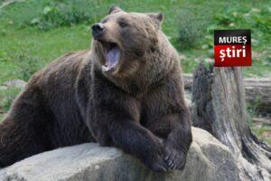 se-va-putea-interveni-legal-asupra-ursilor-periculosi!-modificari-importante-la-legea-vanatorii