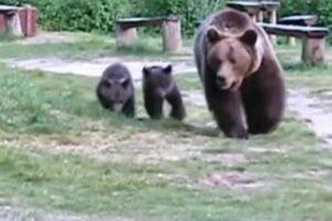 alerta!-trei-ursi,-vazuti-in-curtea-unei-scoli-muresene!