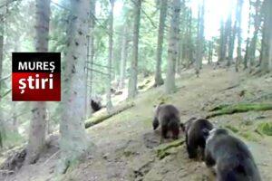 video.-trei-ursi-surprinsi-intr-un-mod-inedit,-in-calimani!