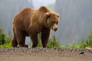 deocamdata,-ursul-vazut-in-reghin-s-a-retras-in-padure