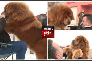 video.-boss,-cel-mai-frumos-mastiff-tibetan-din-lume,-traieste-in-mures!