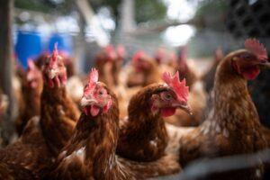 carne-de-pasare-si-oua-din-zonele-afectate-de-gripa-aviara-au-ajuns-si-in-mures