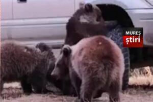 video 3 pui de urs incantati de roata unei masini