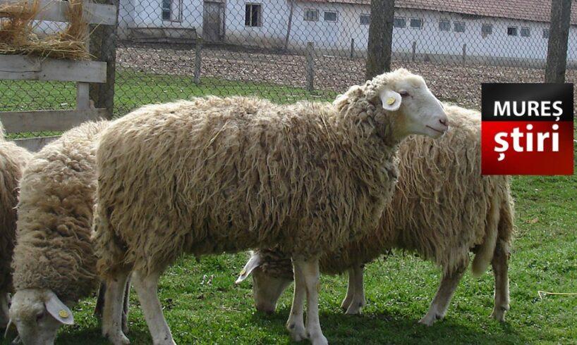 un muresean si a ales si dus acasa 4 oi de pe camp dar nu erau a lui