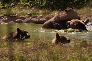 ministrul-mediului:-va-face-si-statul-un-sanctuar-pentru-ursi
