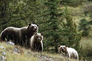 habitatul-ursilor,-intins-pe-suprafete-mari