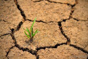 peste-100-de-hectare-de-cultura-de-sfecla-de-zahar,-afectate-de-seceta-in-judetul-mures