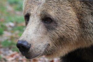 harghita:-interventie-a-jandarmilor-pentru-alungarea-unui-urs-care-a-intrat-intr-o-gospodarie-din-voslabeni