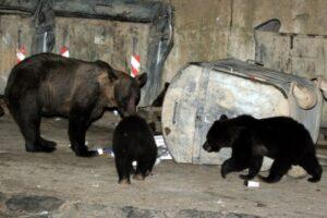 jandarmii-au-intervenit-pentru-alungarea-unor-ursi-in-gheorgheni-si-baile-tusnad