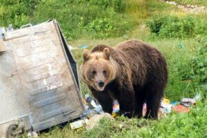 ursul-a-coborat,-din-nou,-azi-noapte-la-voslabeni,-in-harghita