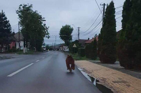 se-plimba-ursul,-relaxat