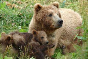 ursoaica-cu-2-pui,-in-apropierea-garii-din-baile-tusnad