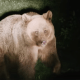 bataie-intre-ursi-la-baile-tusnad