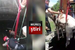 imagini-video-cu-salvarea-unei-bovine-cazuta-intr-o-fantana!
