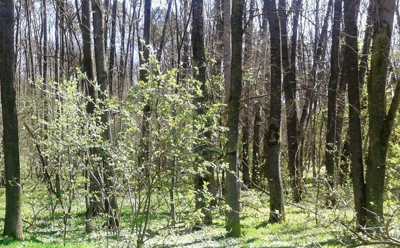 """infiintarea-""""dna-ului-padurilor""""-este-privita-cu-suspiciune-de-forestieri"""