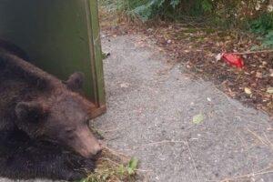 noutati-despre-ursul-accidentat-de-un-autovehicul-in-gaiesti