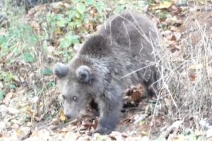 prezenta-unui-urs-a-fost-semnalata-in-comuna-harghiteana-mugeni