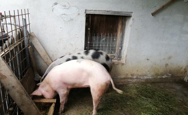 in-mures,-80%-din-porci-nu-sunt-inregistrati