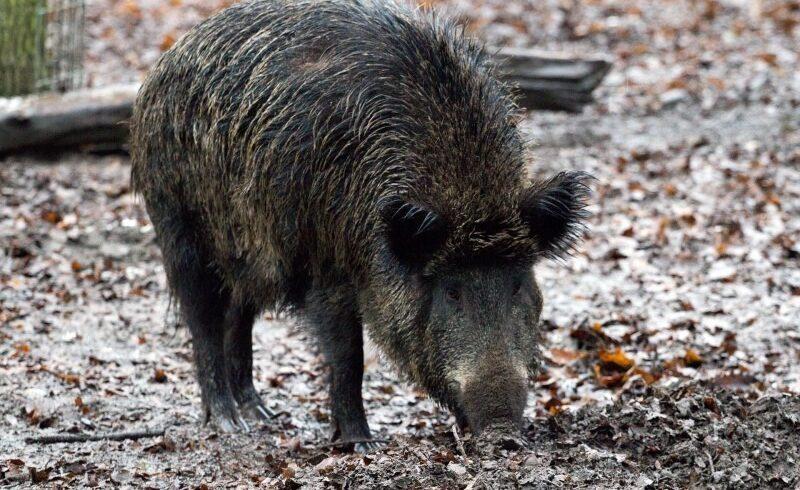 pesta-porcina-africana-a-ajuns-la-zoo-tg-mures-de-la-vizitatori