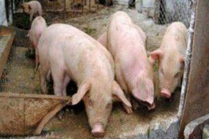 focar-de-pesta-porcina-africana-in-saulia!-ce-masuri-au-luat-autoritatile