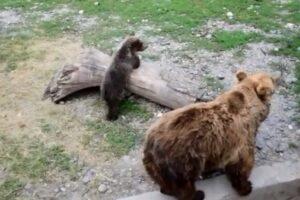 soarta-ursului-brun-se-discuta-in-parlamentul-european