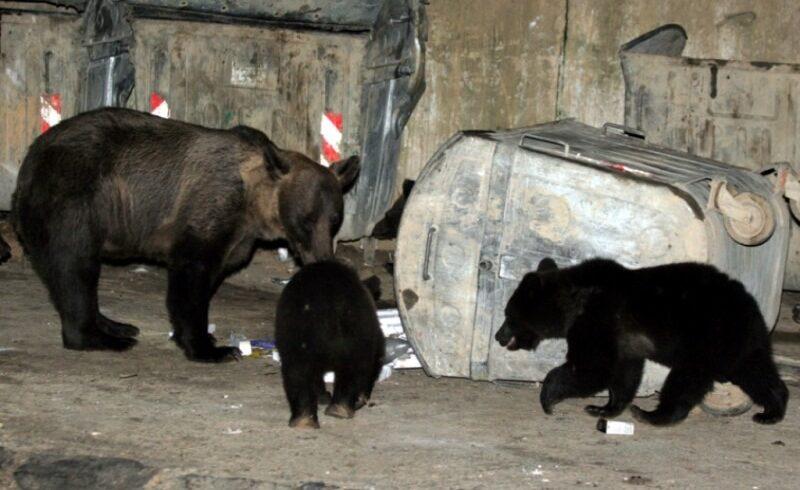 o-ursoaica-si-a-facut-barlog-in-statiunea-izvoru-muresului,-la-mica-distanta-de-locuintele-oamenilor