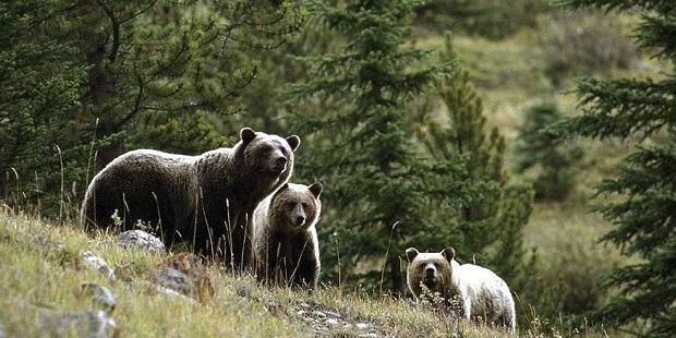 relocarea-ursilor-nu-este-o-solutie,-cred-vanatorii-harghiteni