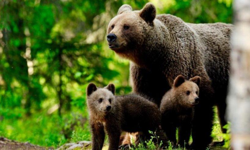 autoritatile-locale-au-solicitat-ministerului-mediului-relocarea-ursoaicei-cu-pui-de-la-sugas-bai