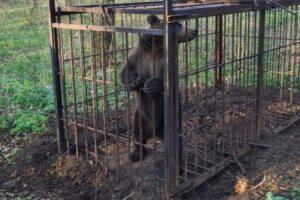 ursul-care-dadea-tarcoale-in-zona-cartierului-tudor-din-targu-mures-a-fost-capturat-in-aceasta-dimineata