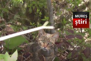 video.-imagini-rare-cu-o-pisica-salbatica,-intr-o-padure-din-parcul-national-calimani
