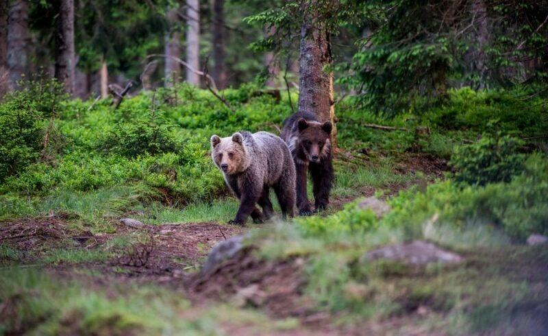 municipalitatea-brasoveana-va-aloca-150.000-de-lei-pentru-hranirea-ursilor