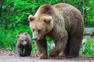 weekend-cu-18-apeluri-pentru-indepartarea-ursilor,-in-harghita