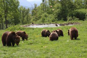 ursii-reprezinta-un-pericol-pe-traseele-turistice-din-judetul-harghita