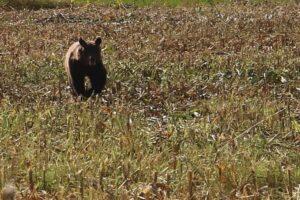 un-urs-a-fost-vazut-in-orasul-comarnic